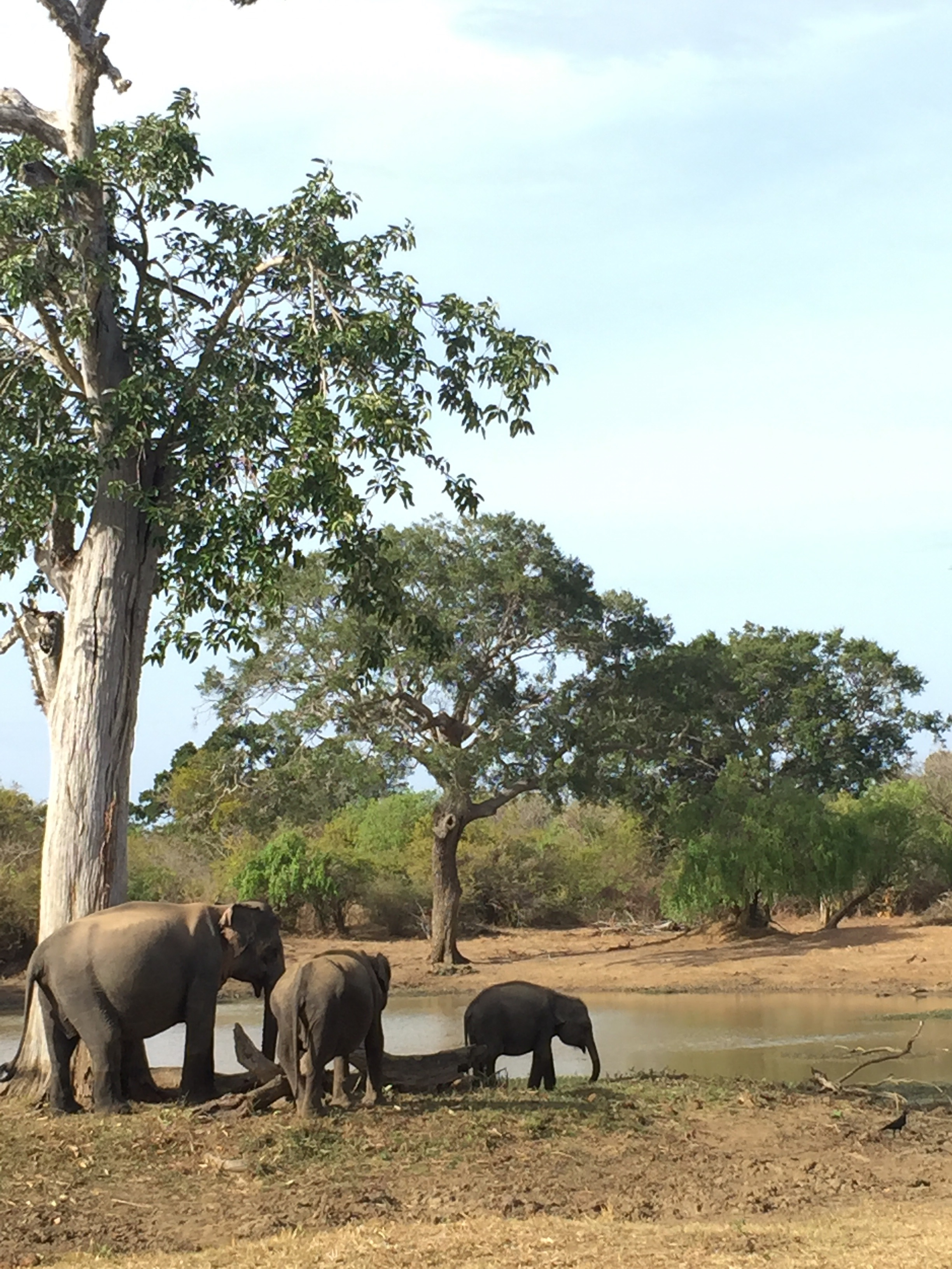 """You know you've been in Sri Lanka too long when you see elephants and think, """"meh."""""""