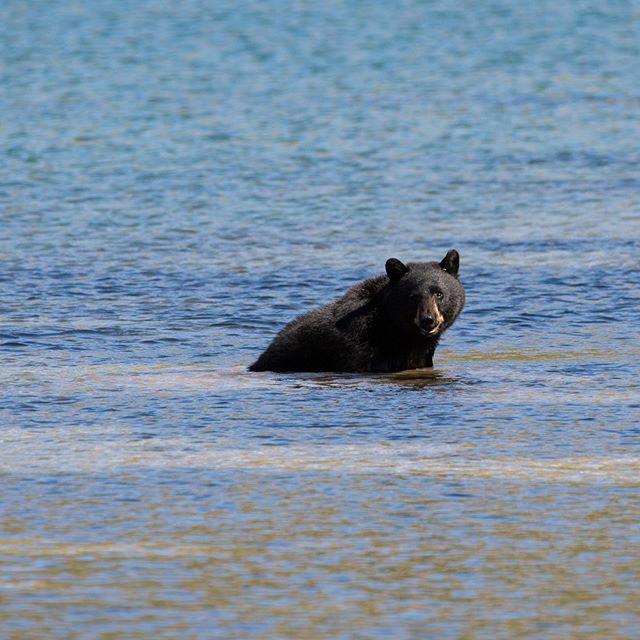 3/3 - Hot Bear Summer in @glaciernps