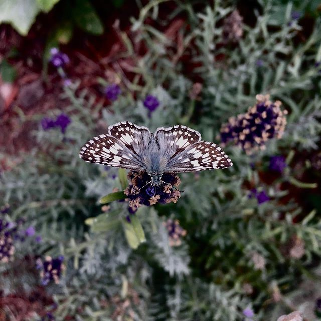 Today in the garden...common checkered skipper on lavender. @littleleafherbs #inthegardentoday #lavender #lepidoptera