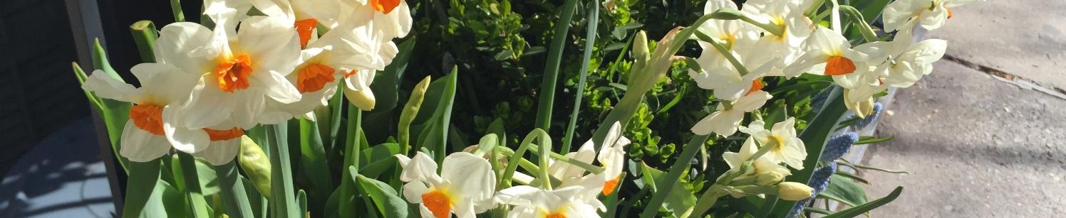 Pretty Narcissus Shot.JPG