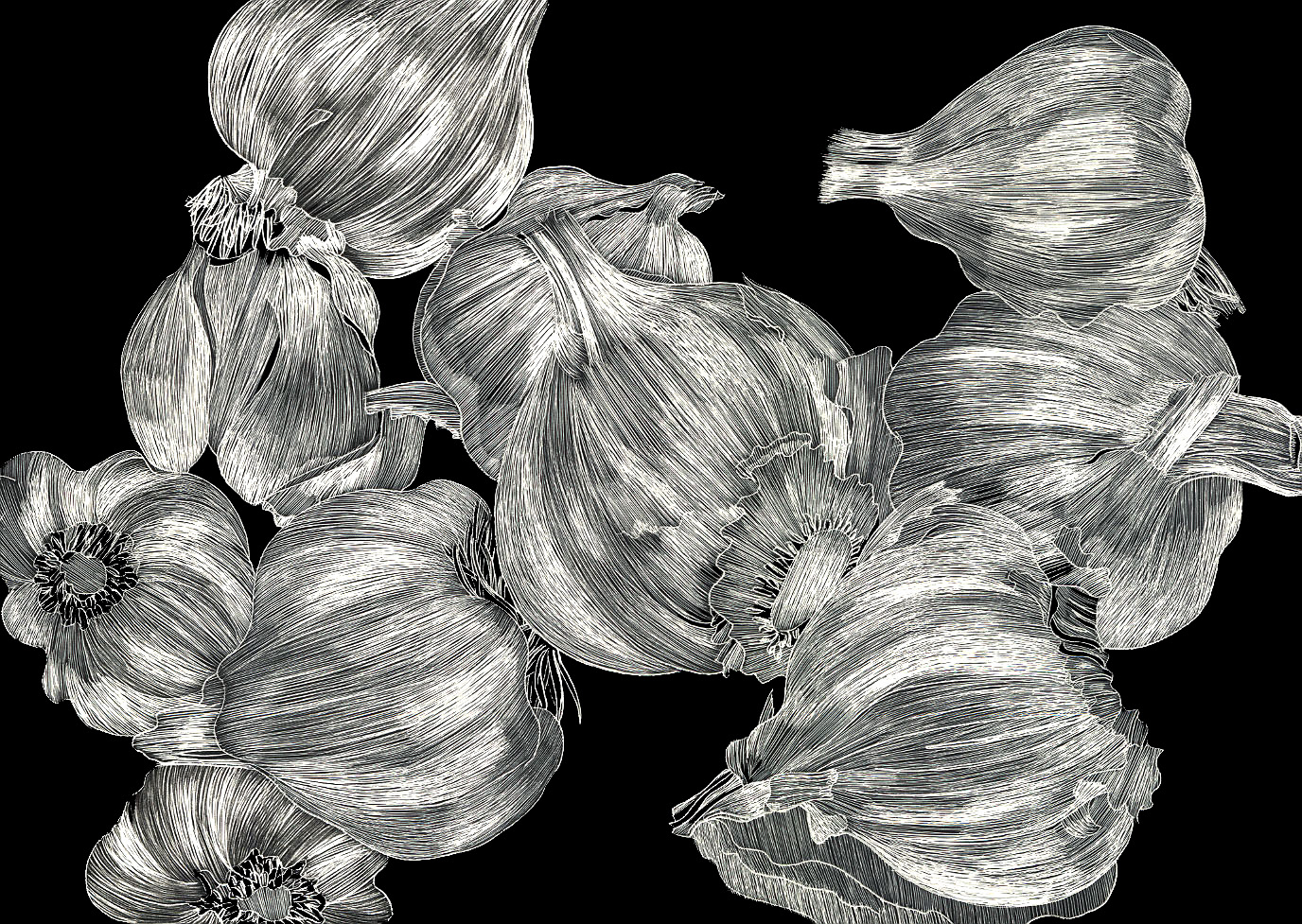 #21 Garlic 18x16 Scratchboard $900.jpg