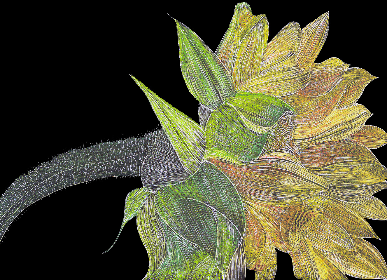 #29 Sunflower 18x16 Scratchbord & Prismacolor Pencils $900.jpg