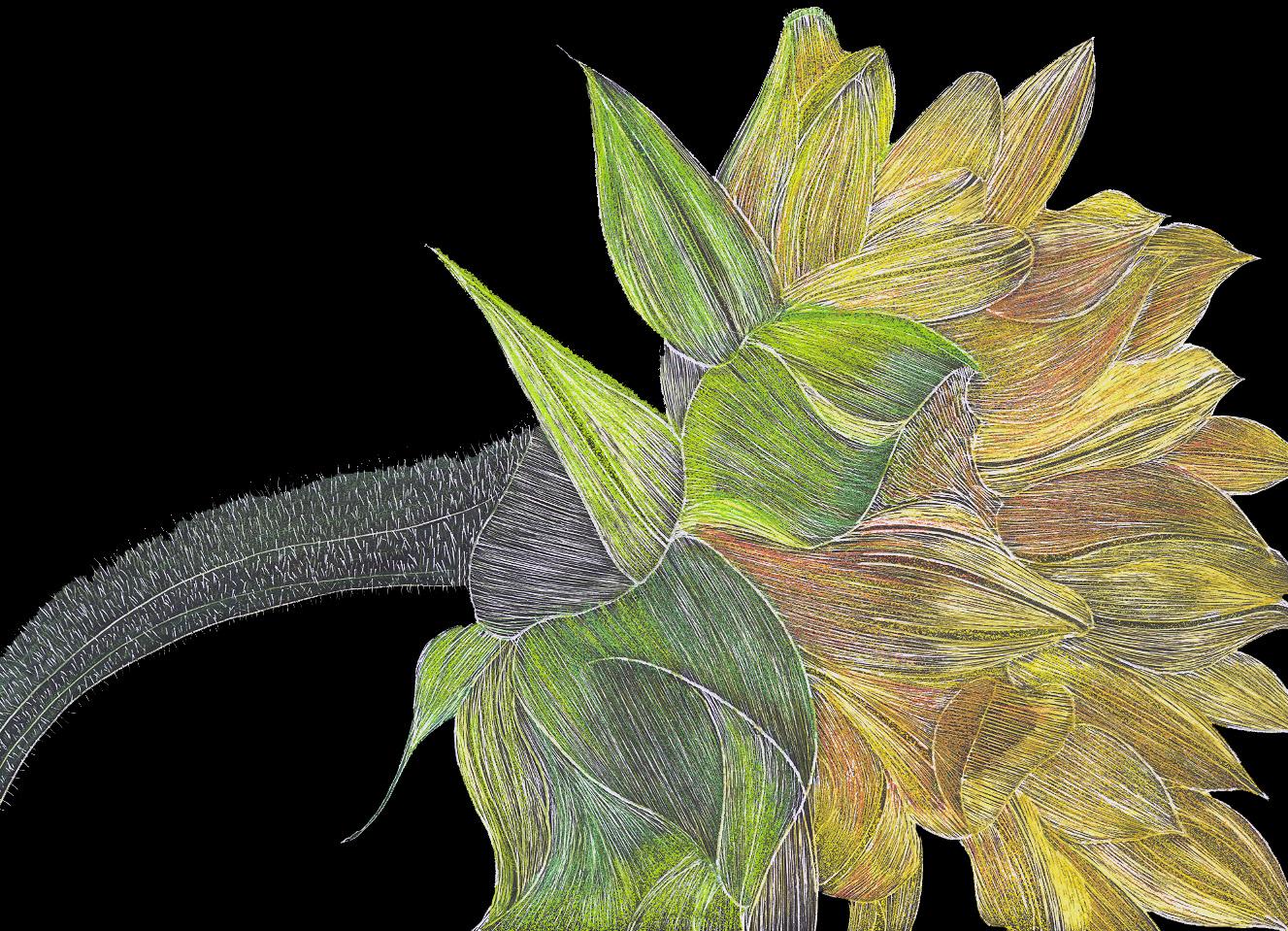 #29 Sunflower 18x16 Scratchbord & Prismacolor Pencils $900.jpg