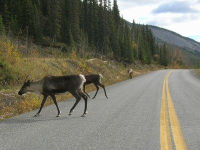 400.300.sce.caribou.road.JPG