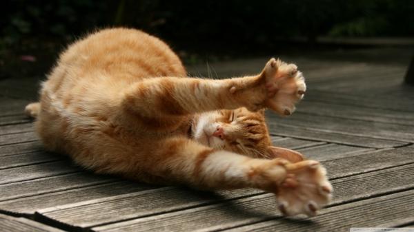157130_cats-animals-stretching-1600x900-wallpaper_wallpaperswa.com_8.jpg