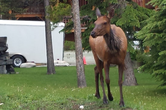 Maybe the elk were hungry? This one was hanging out with us in the feed zone for most of the races.