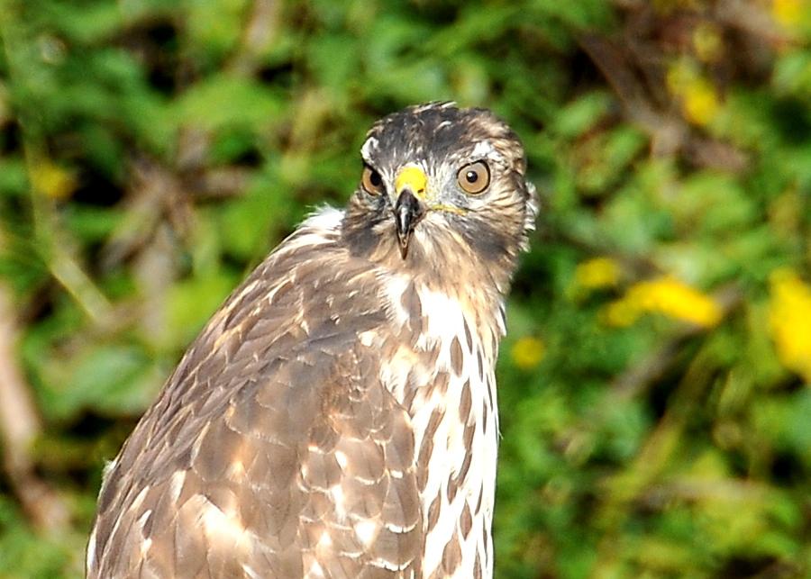 Hawk 005-1.jpg