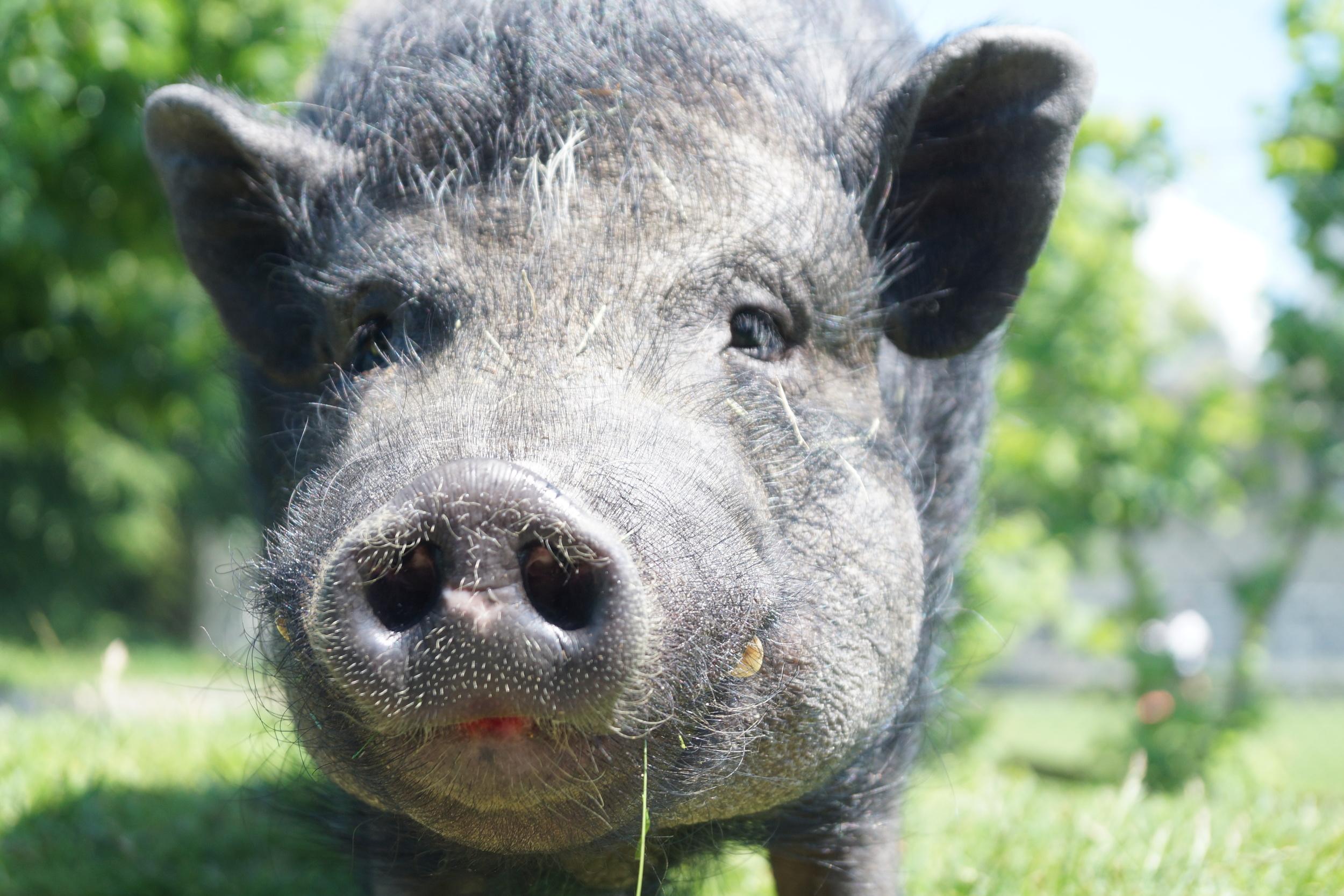 Ob Schweine ...