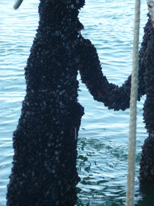 Mussel ropes.