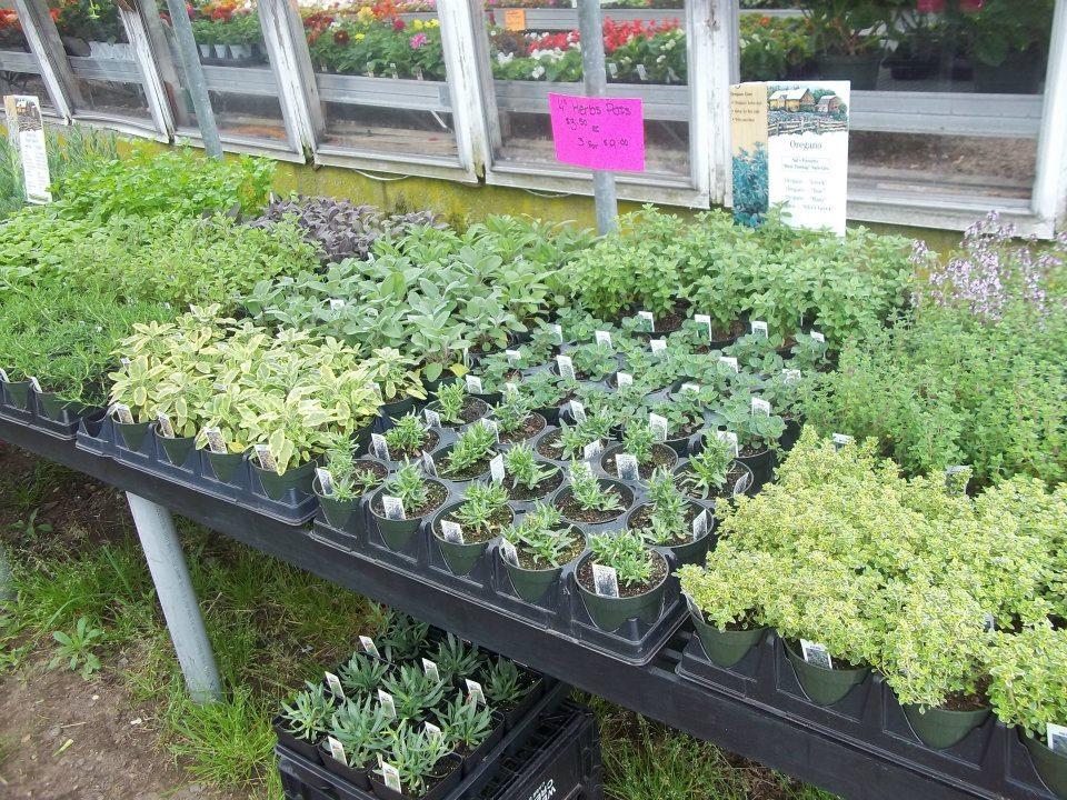 herbs baby plants.jpg