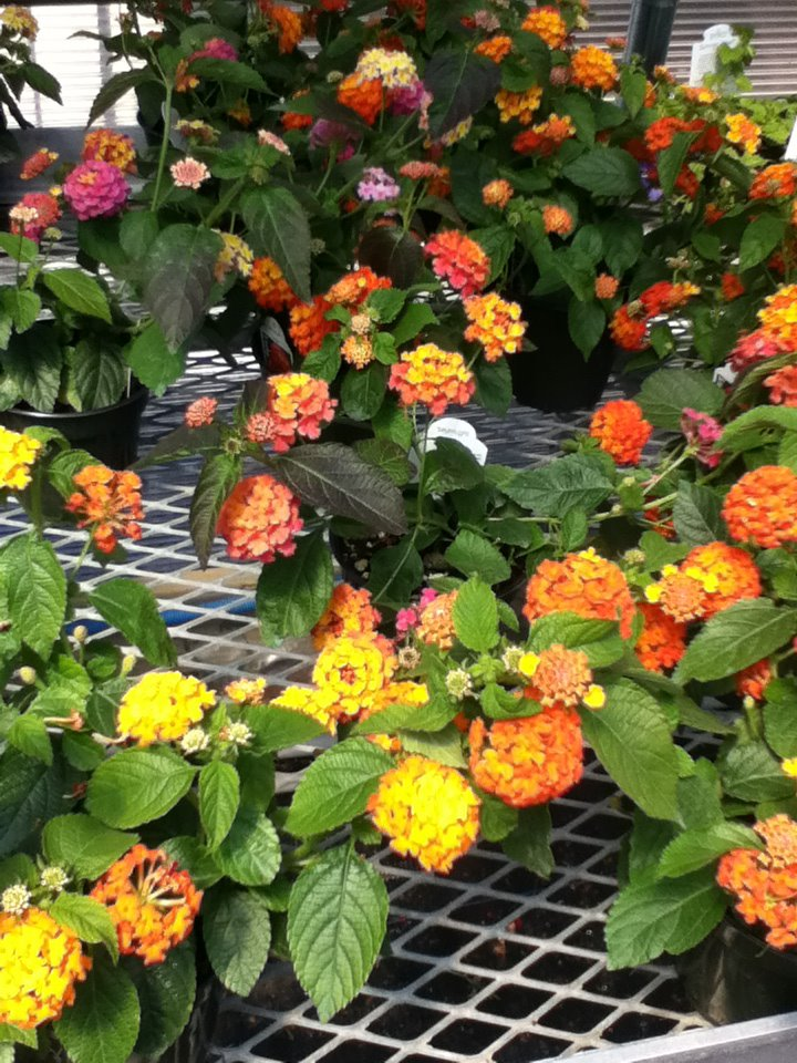 orange and yellow flowers pots.jpg