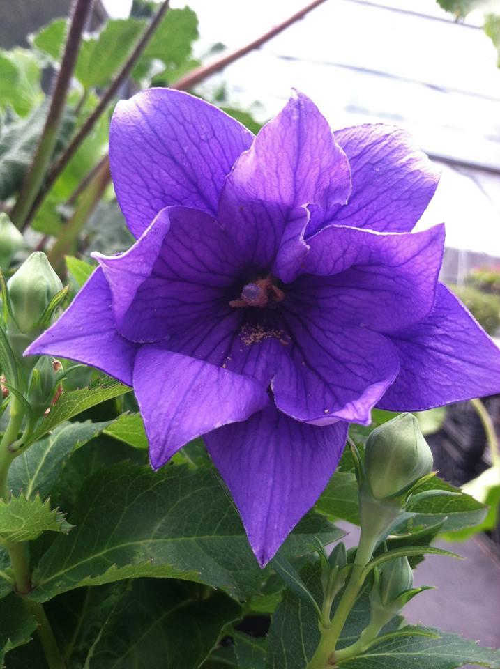 pointy purple.jpg