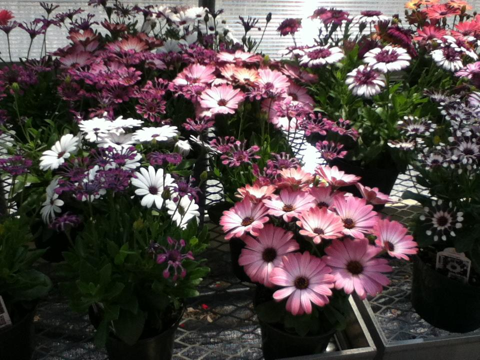 purple pink flower pots.jpg