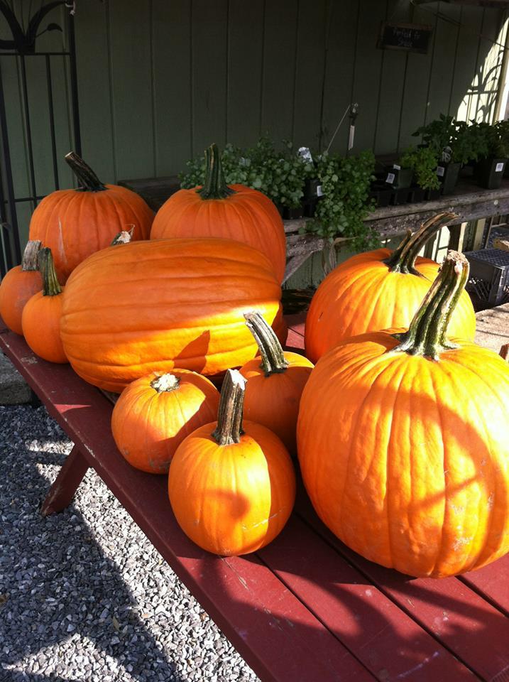 big pumpkins.jpg