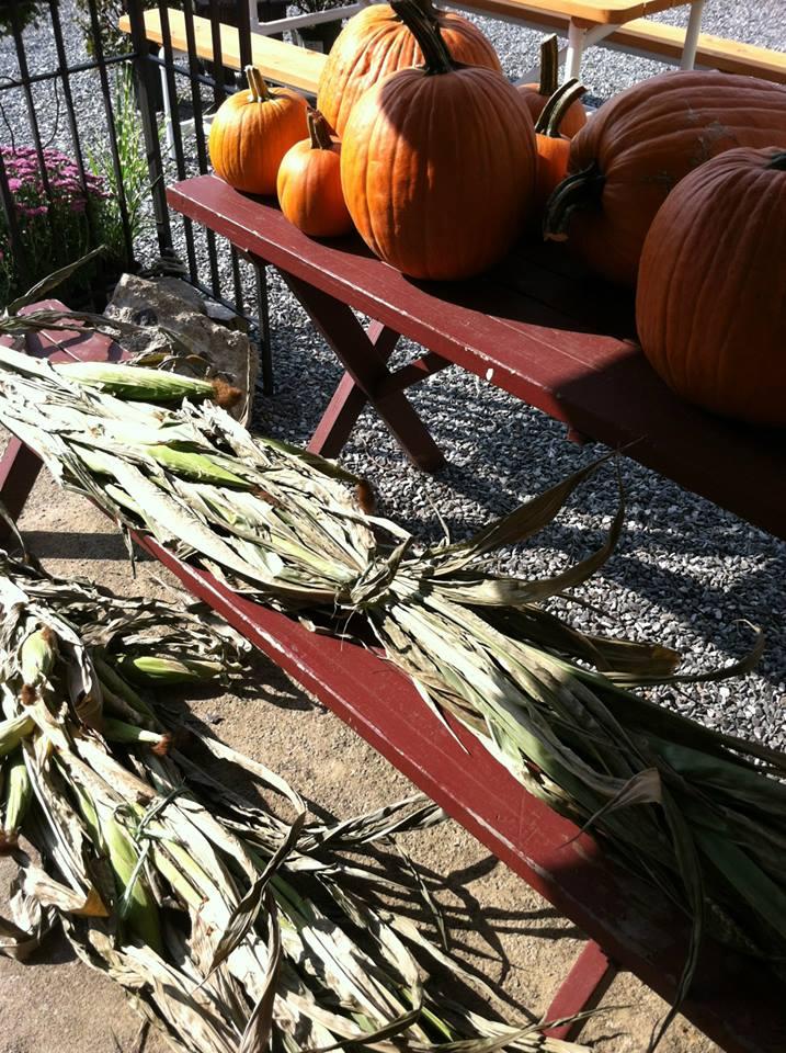 pumpkins corn stalks.jpg