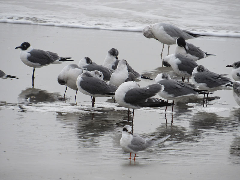 Laughing Gulls and Forster's Tern (photo by Kristine Rivers)