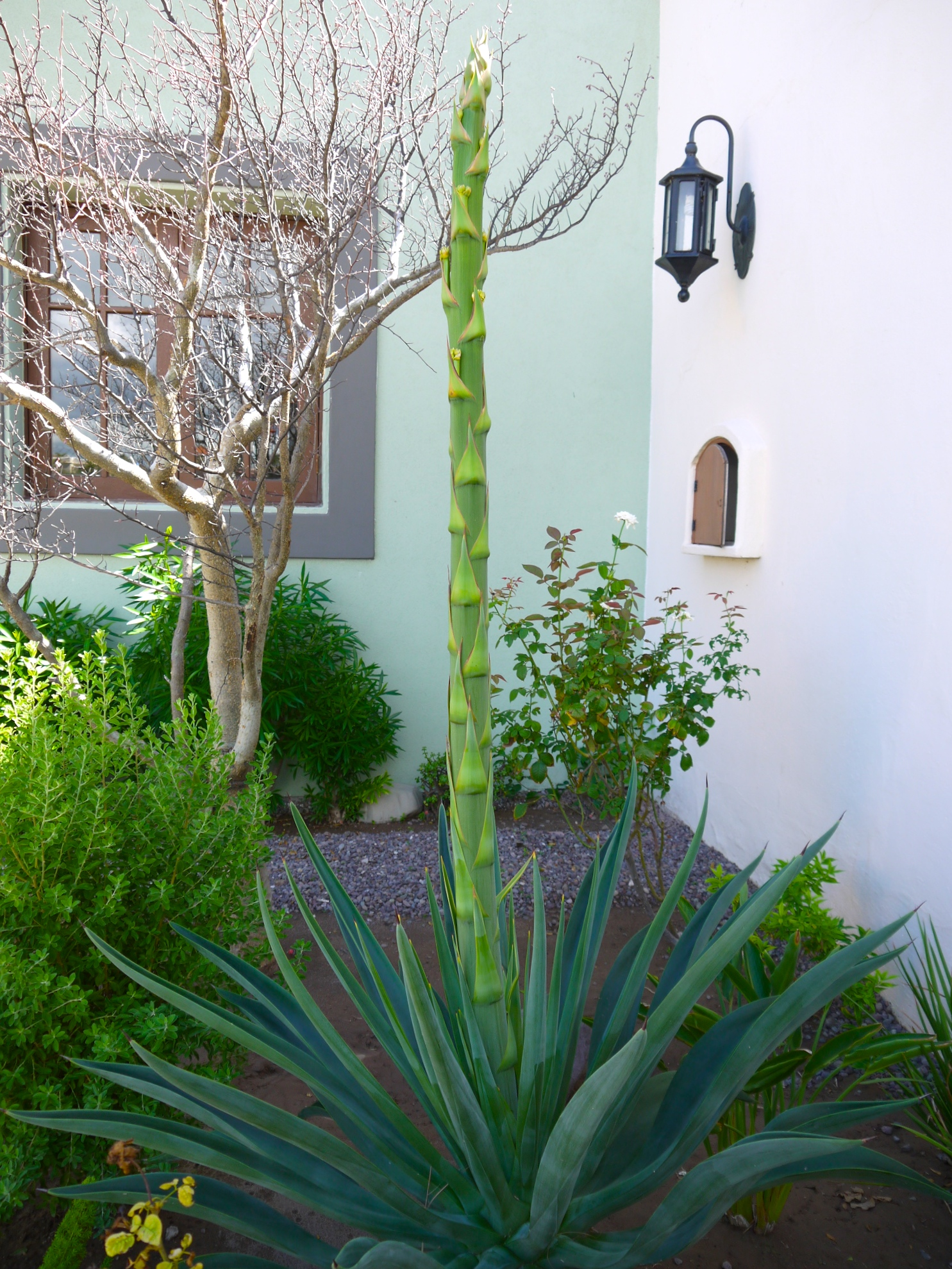 Beautiful agave plant outside the front door