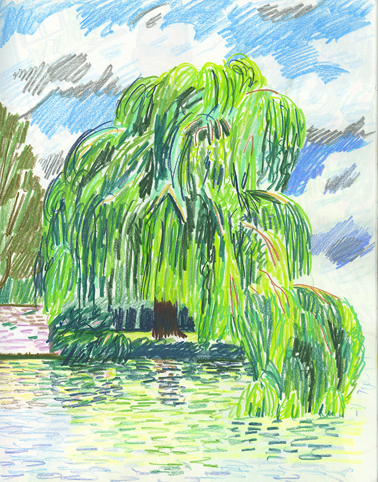 Weeping Willow Cambridge England, 2017