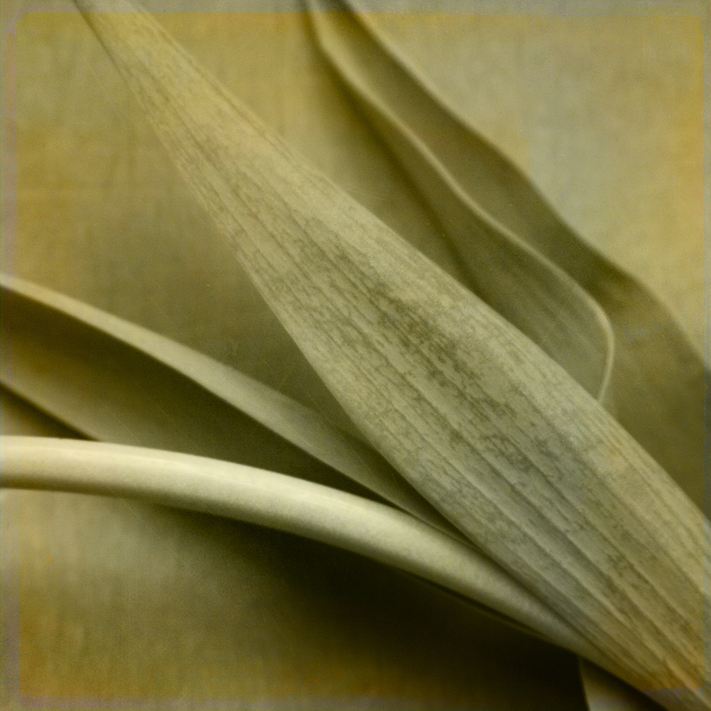 Monochrome tulip leaves & stem.jpg