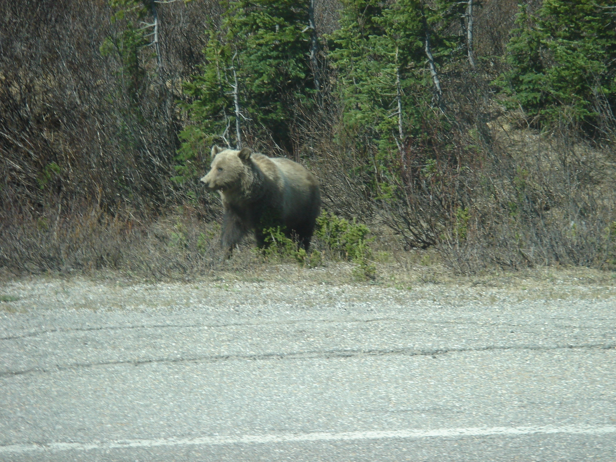 Grizzly Bear at the roadside near Jasper.JPG