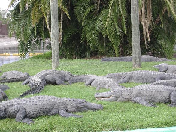 Floridaalligators-3-1549608.jpg