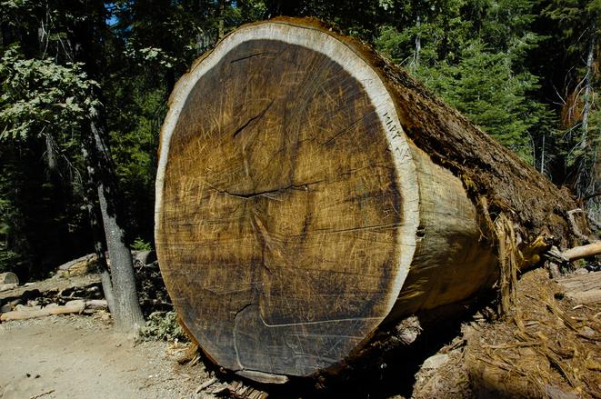 sequoia-tree-1362320.jpg