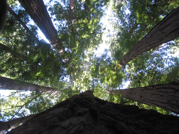 redwood-trees-in-yosemite-nati-1528346.jpg