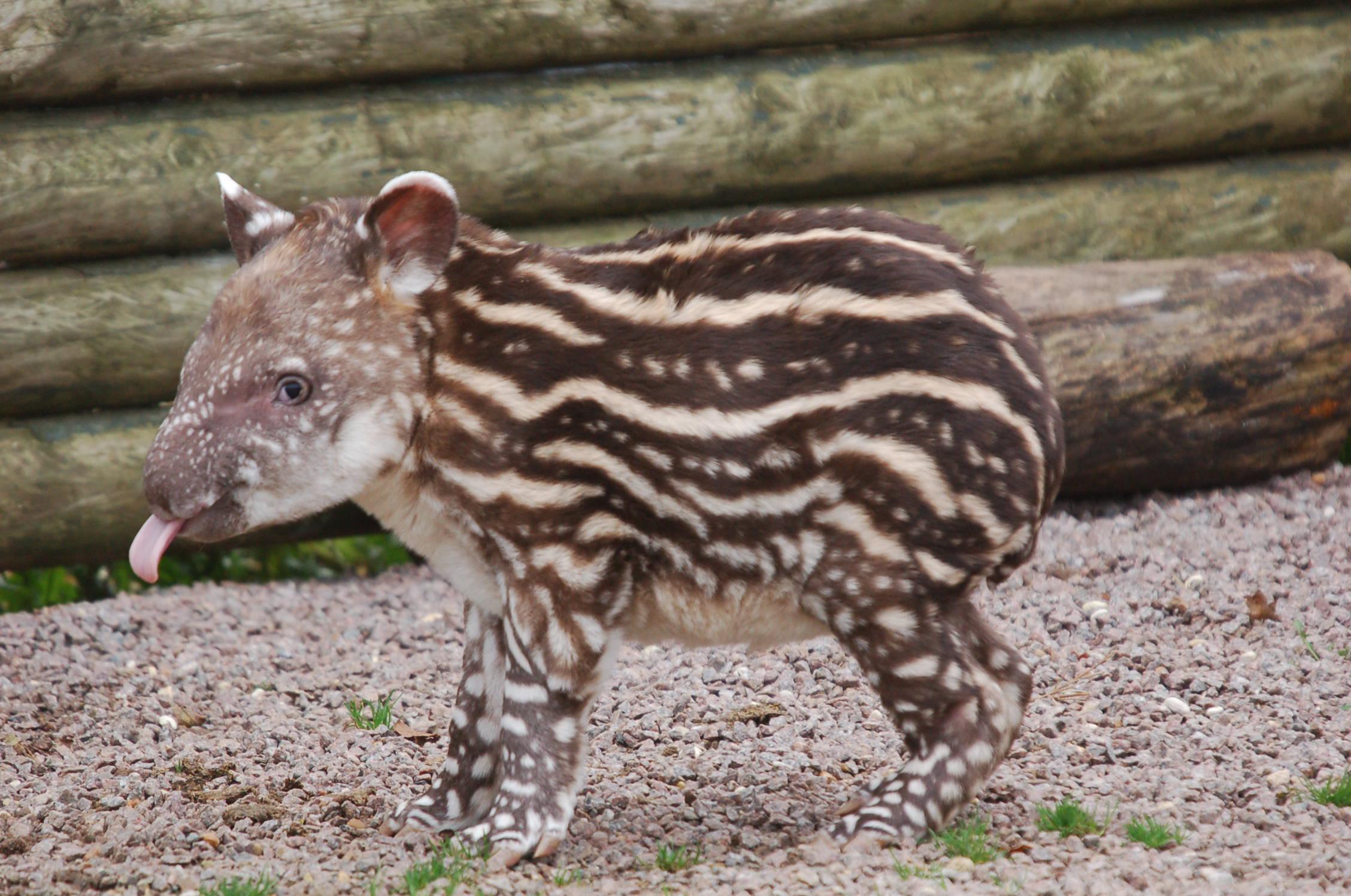 via http://www.twycrosszoo.org/twycrosszoowelcomestinytoddling-tapir.aspx