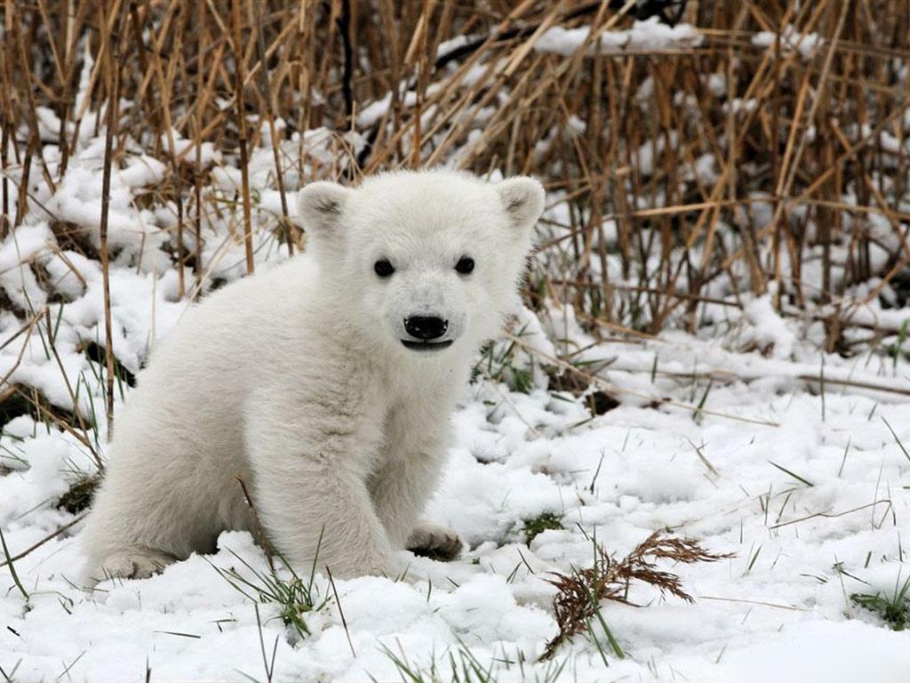 via http://www.pageresource.com/wallpapers/12383/polar-bear-baby-3-hd-wallpaper.html