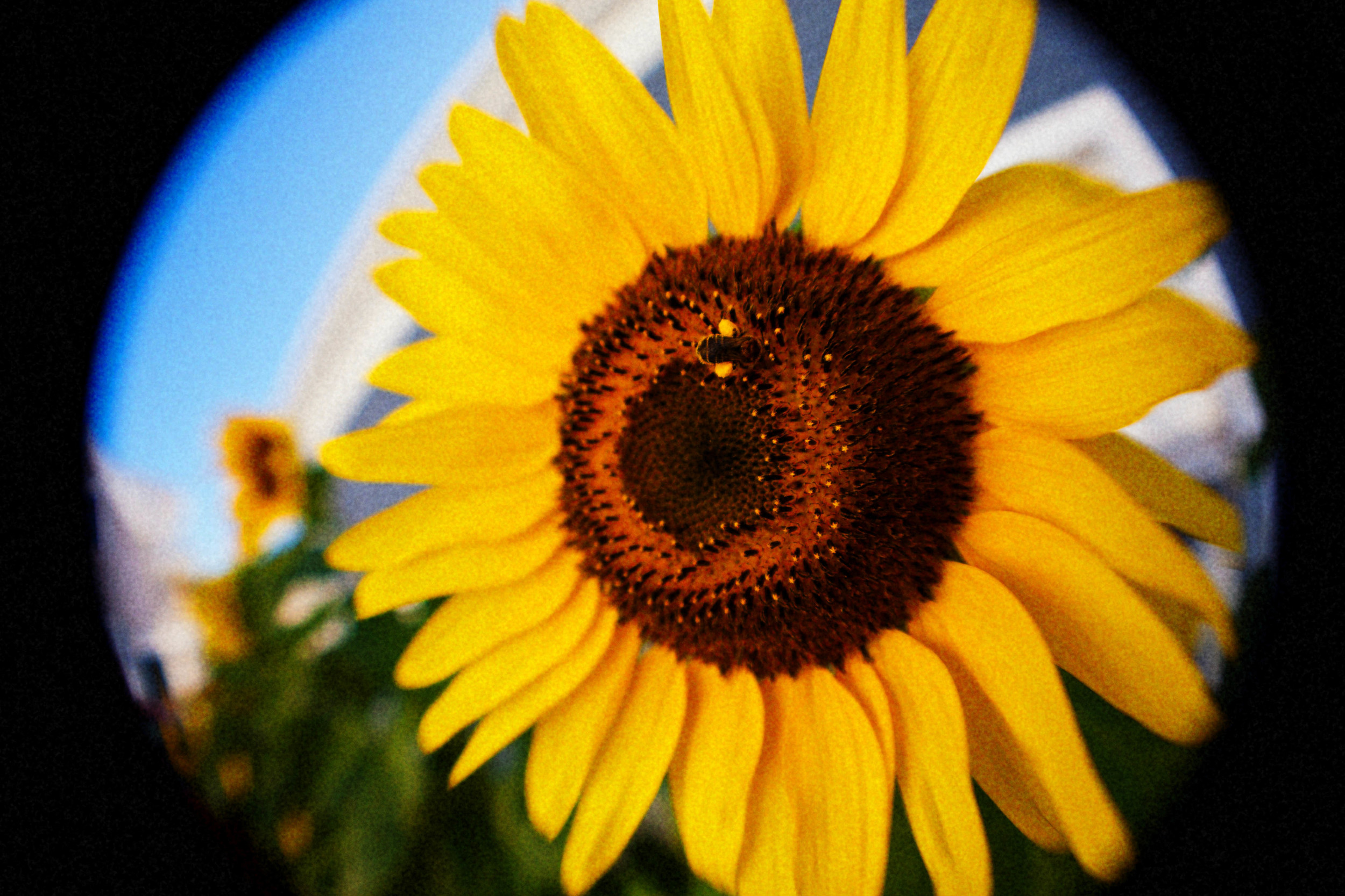 sunflower_MG_2490.jpg