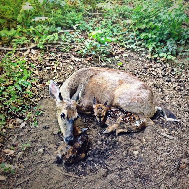 Still-wet, hour old twin fawn gets invigorated by its mama, just outside our office windows at #UVic. #wonderland