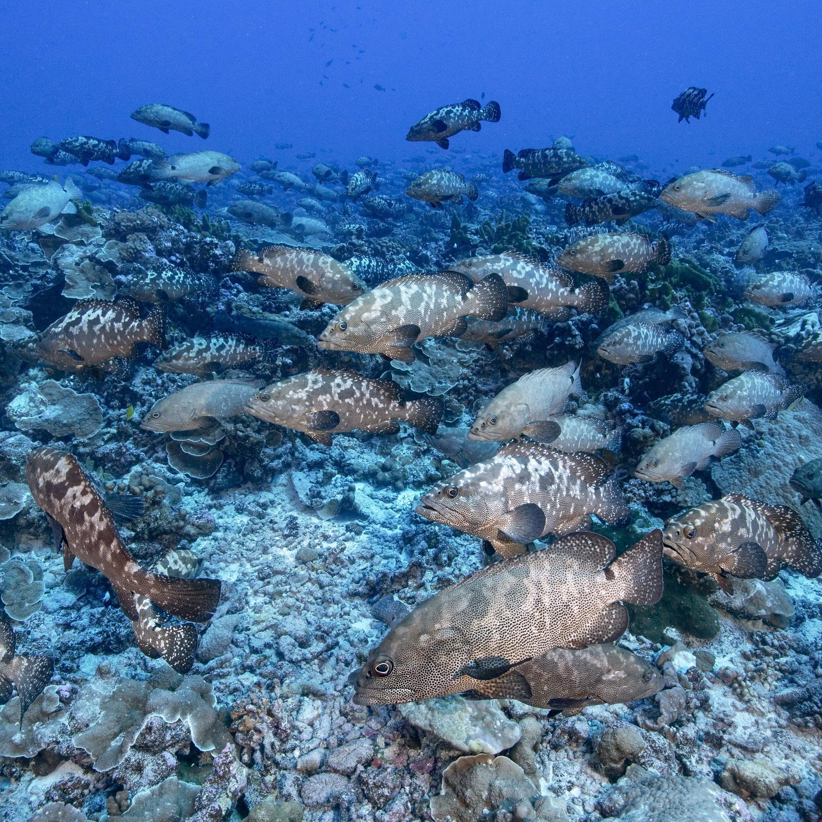 The grouper spawning aggregation of Fakarava, Tahiti.