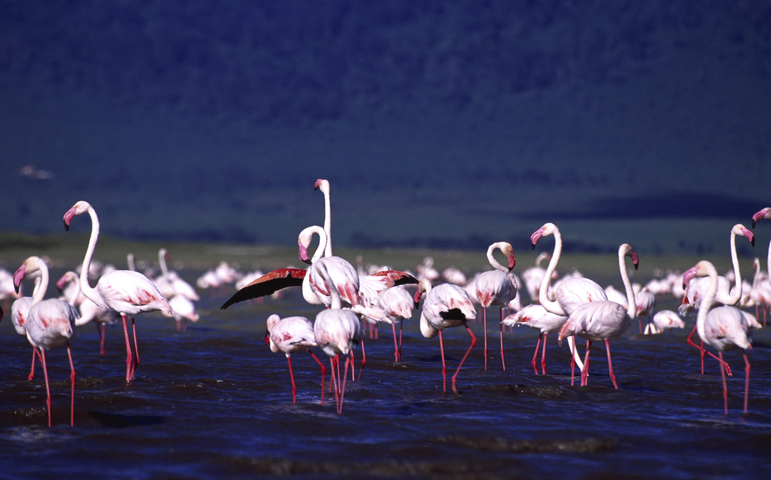 B009 - Flamingos.jpg