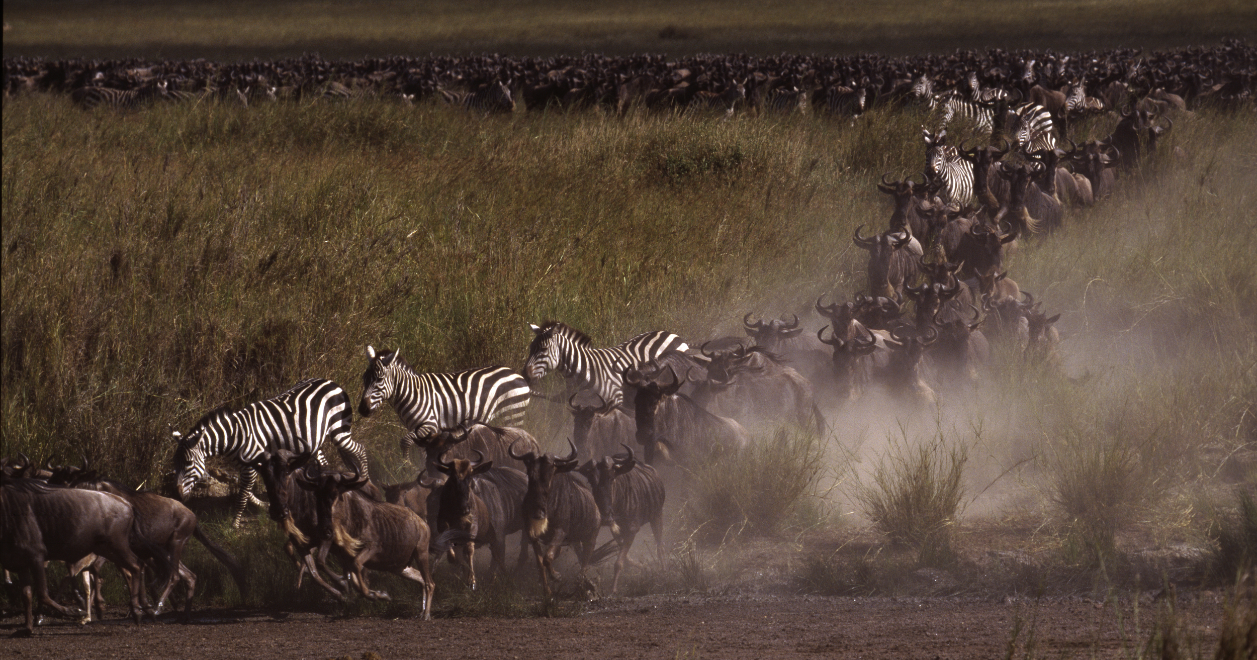 Migration of Serengeti.jpg