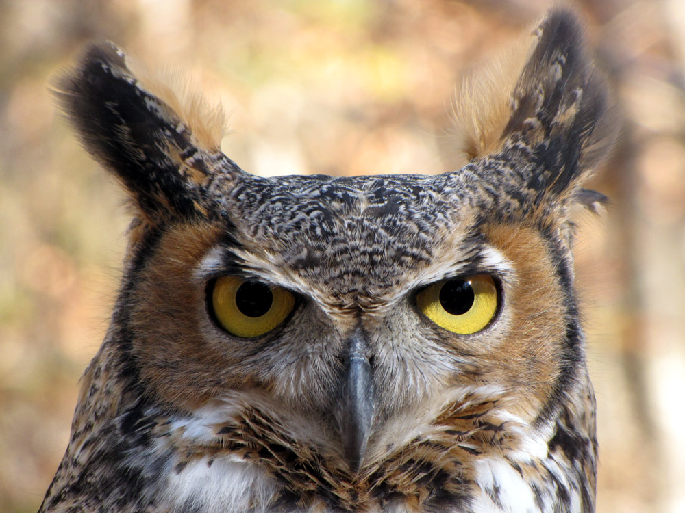 Gaia - Great Horned Owl.jpg