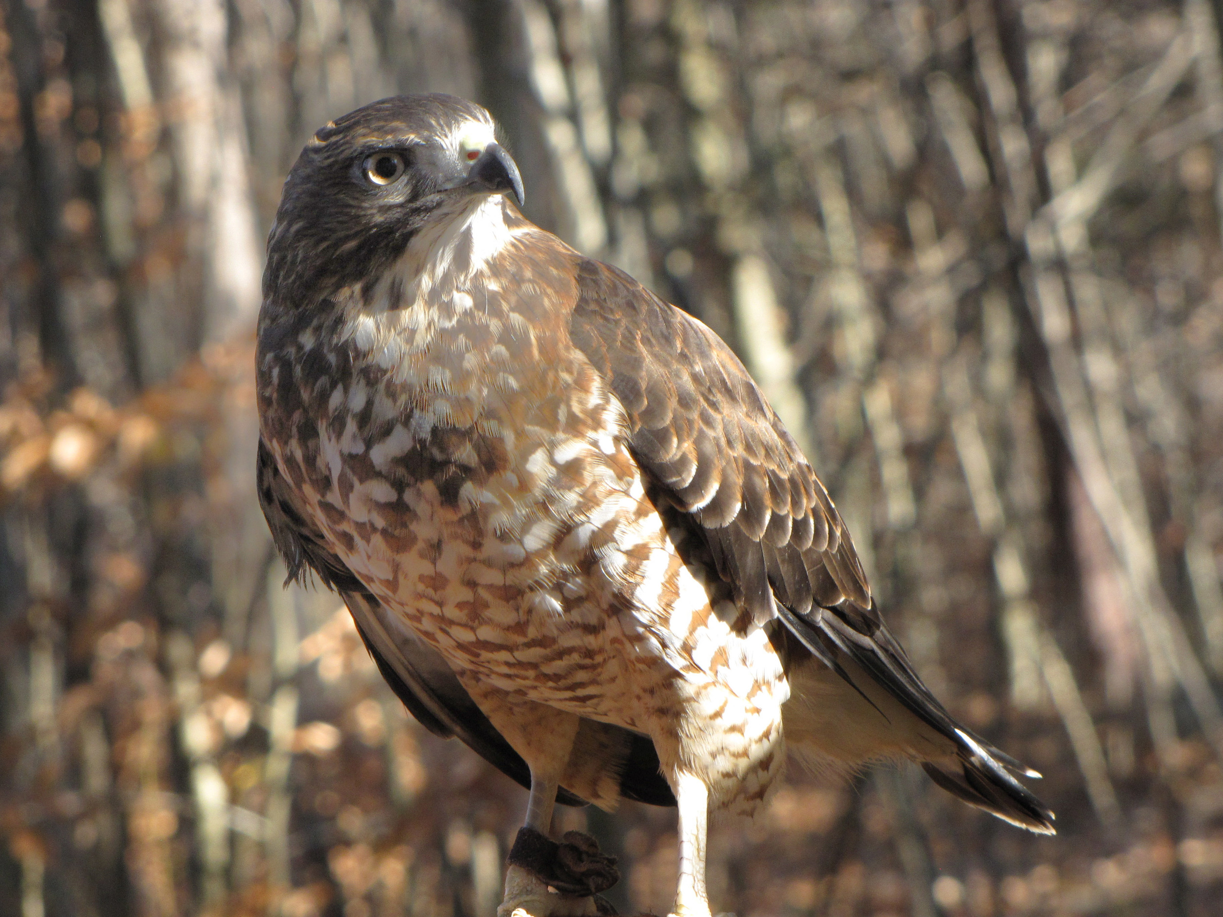 Grace - Broad-winged Hawk - Full View.jpg