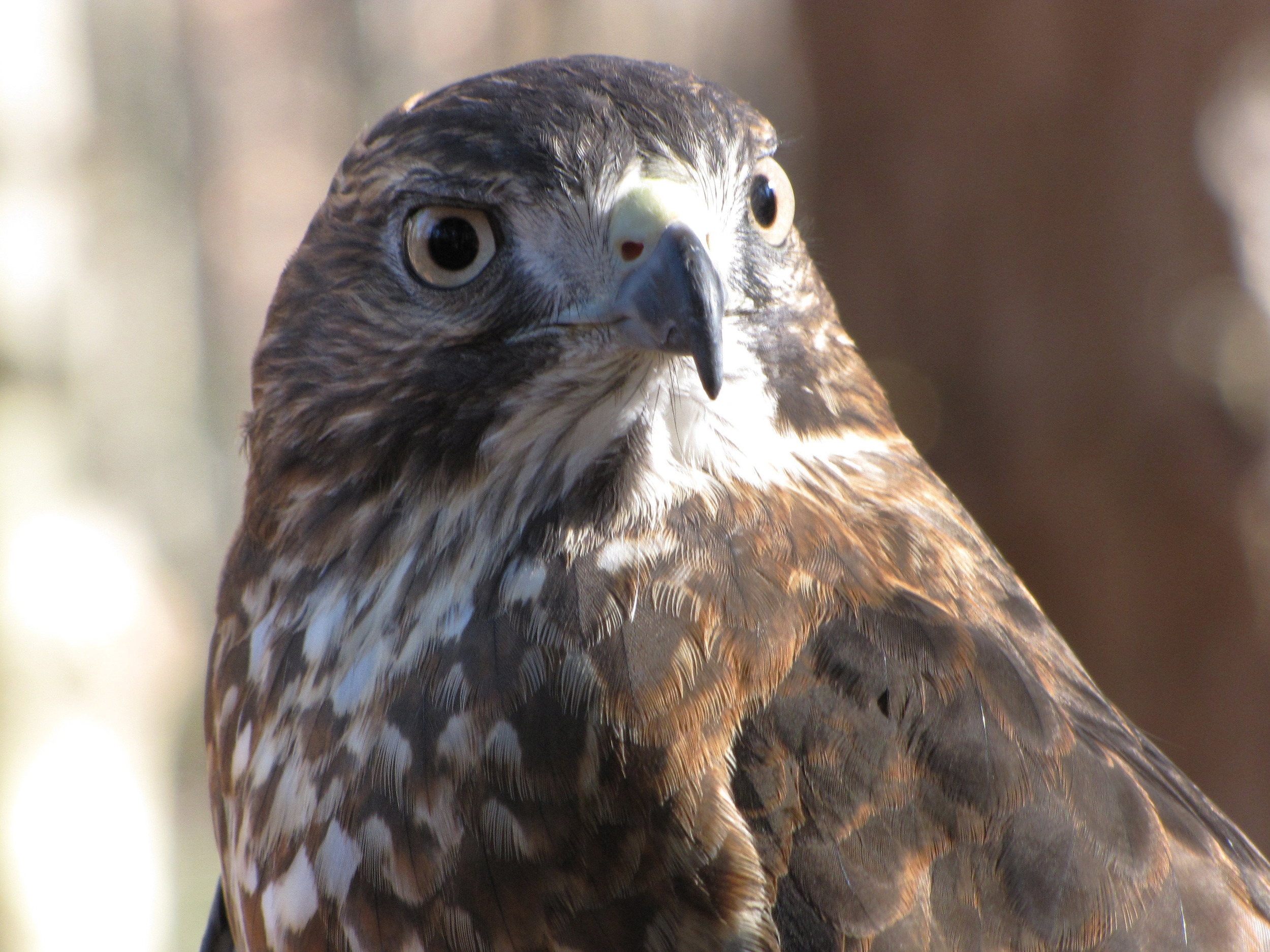 Gracie the Broad-winged Hawk.jpg