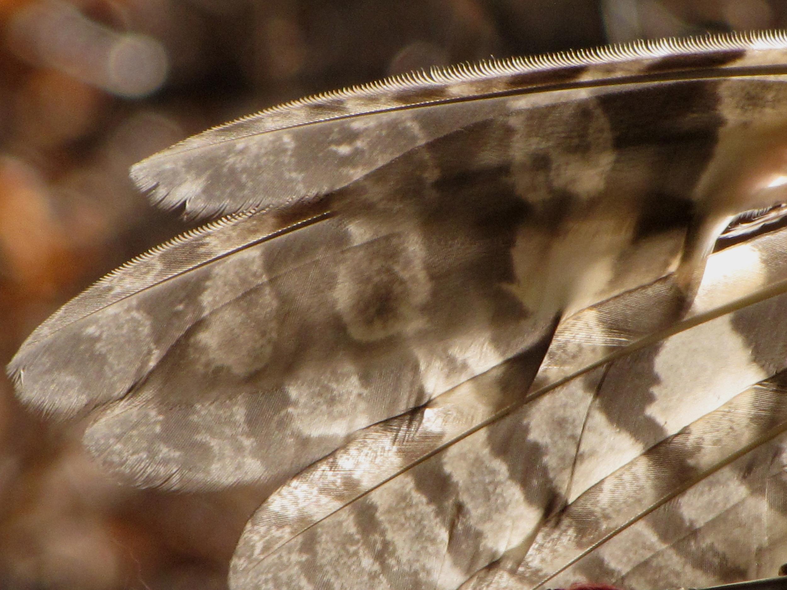 Screech Owl Feathers.jpg
