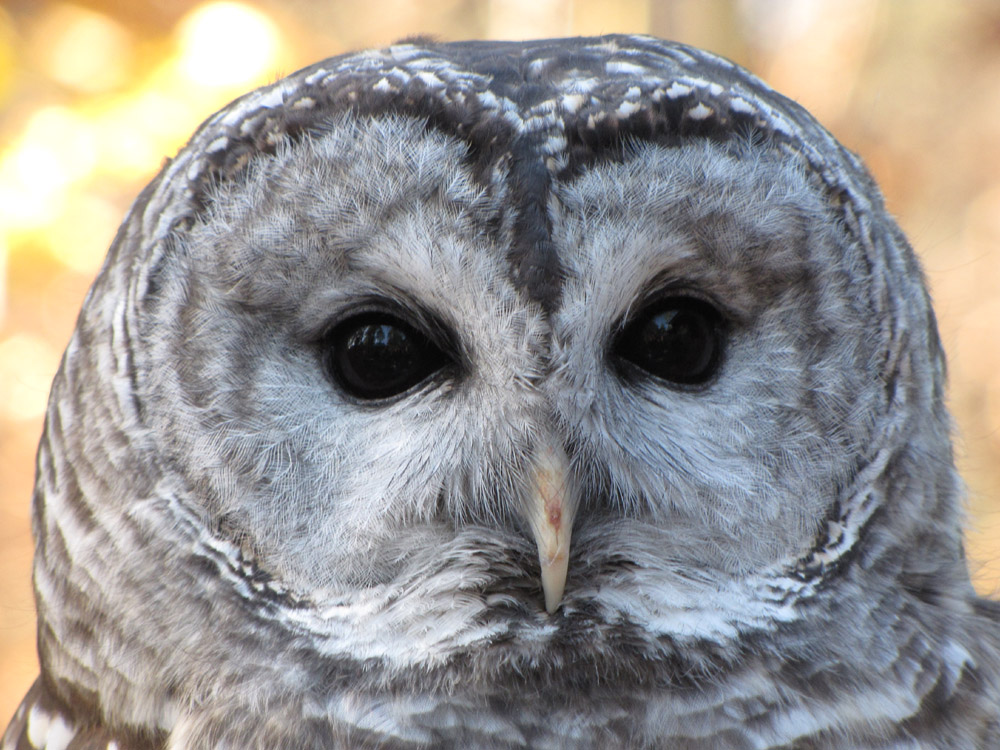 Bianca the Barred Owl.jpg