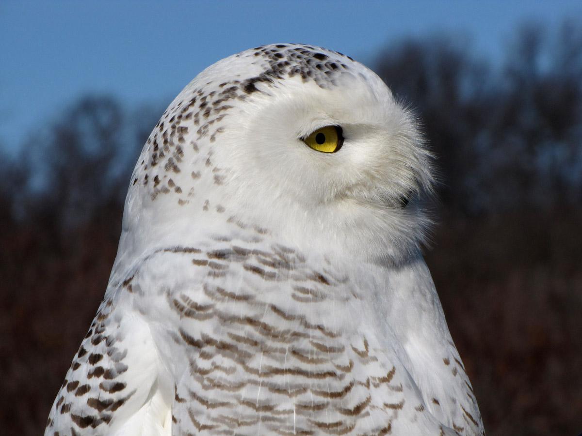 Snowy Owl Profile - Plum Island.jpg