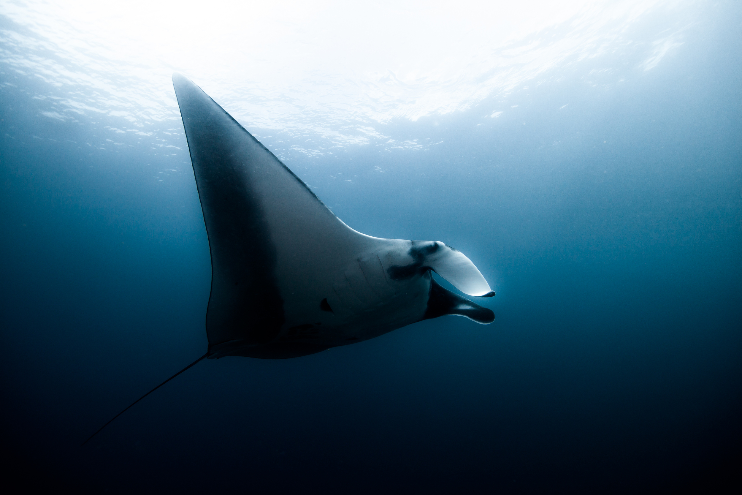 A large pelagic Manta Ray swims by in open ocean...