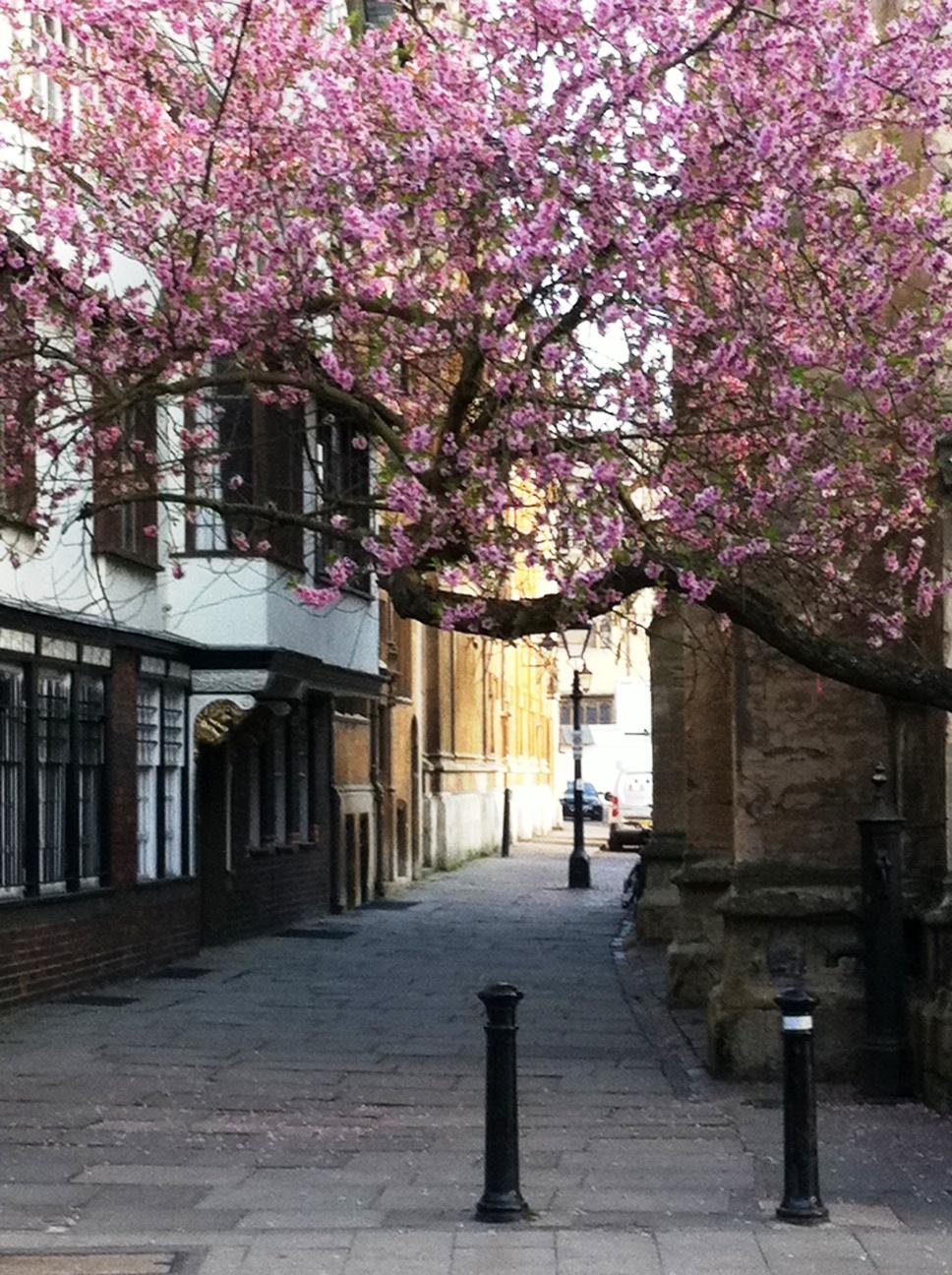 Cerejeira na passagem entre St. Mary the Virgin e a Radcliffe Camera. Quando a cerejeira floresce: spring is coming.