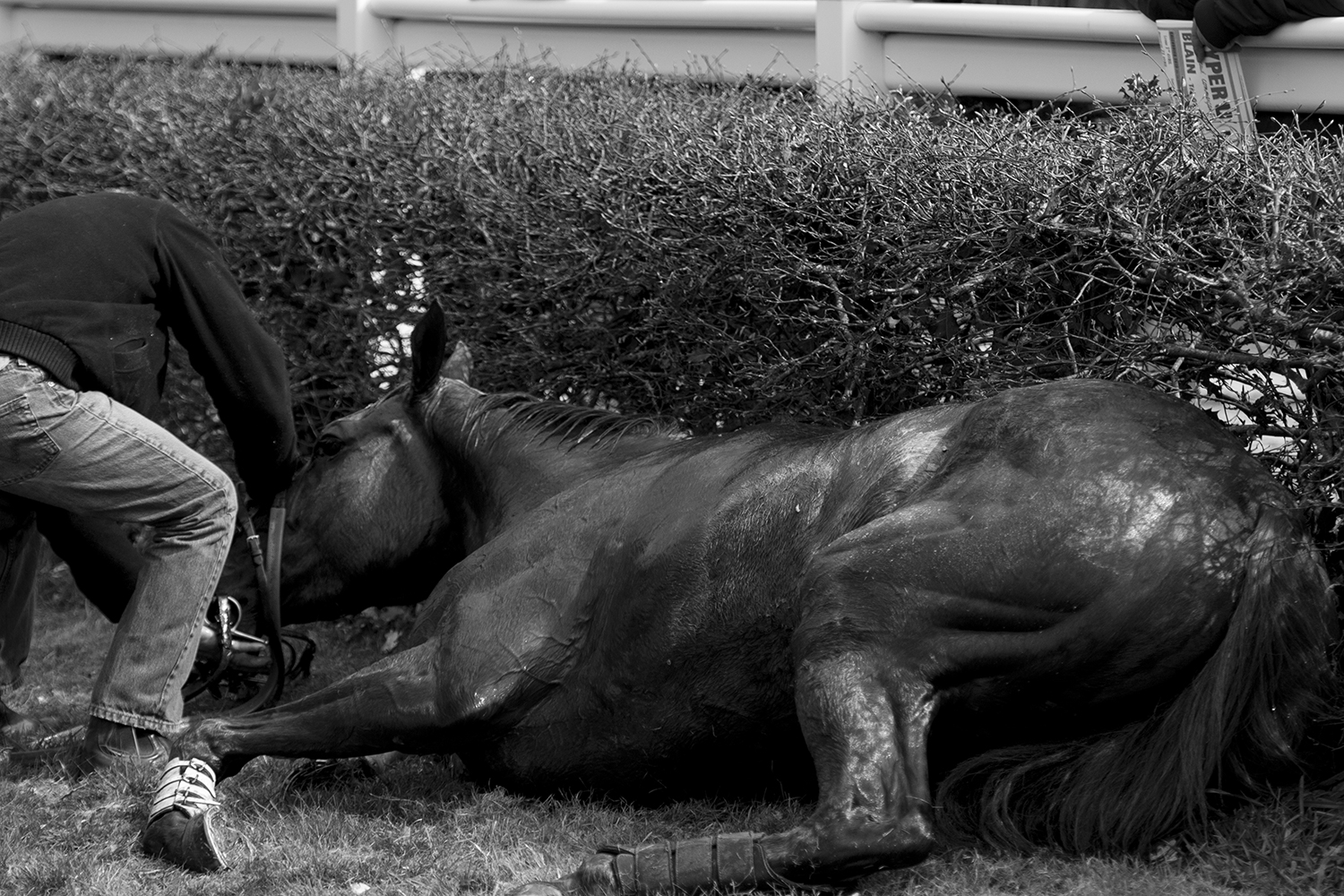 Injured horse being attended by a veterinarian after collapsing.