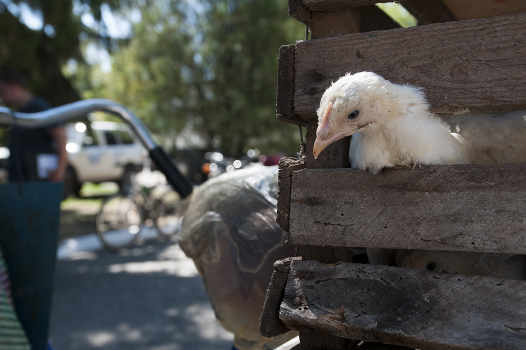 Young chicken in a wooden cage.