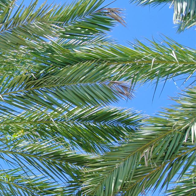 •beneath the palms •