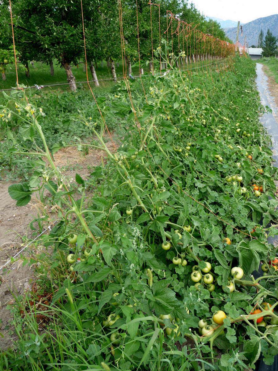 Eric's tomatoe trellis system