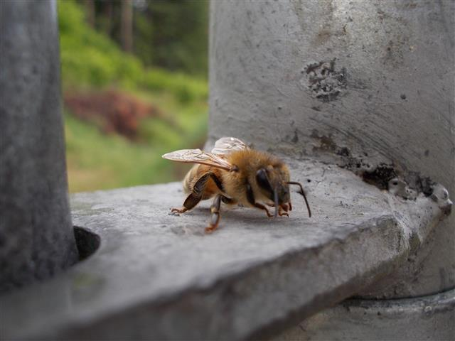 Honeybee on the gate latch.
