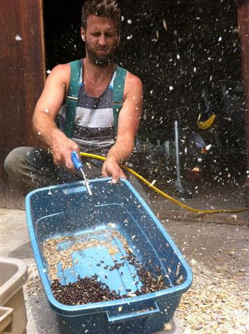 Cleaning last year's Rattlesnake bean seed.
