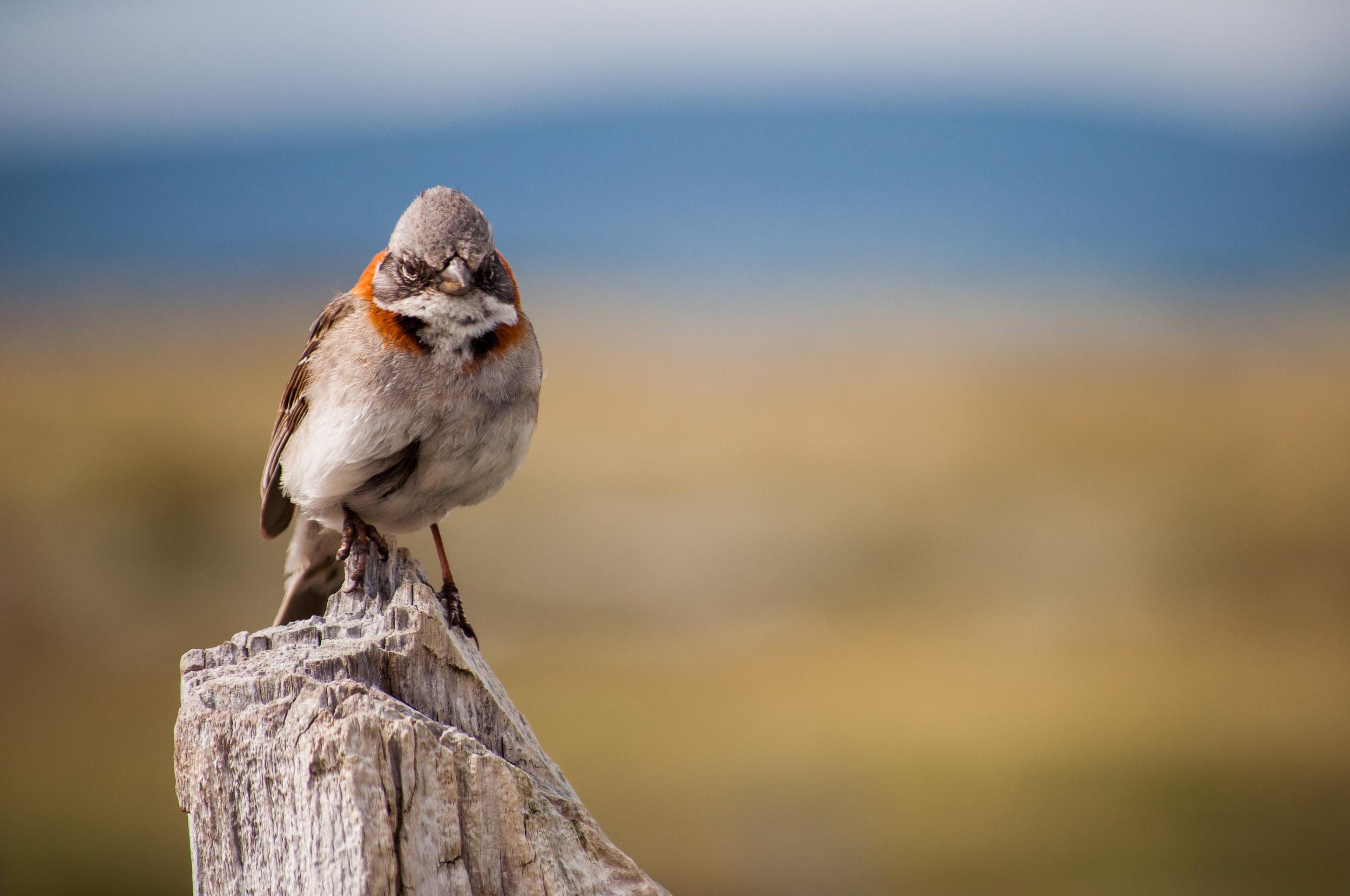 Angry Bird - Patagonia, 2012