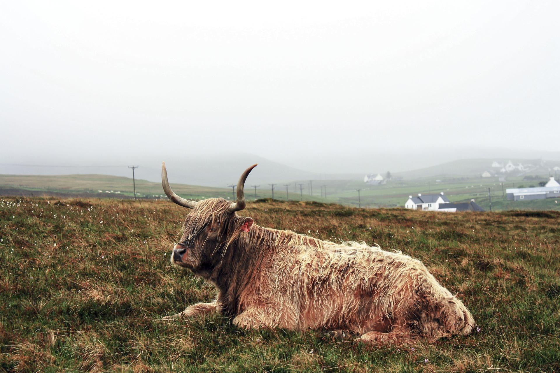cattle-945439_1920.jpg